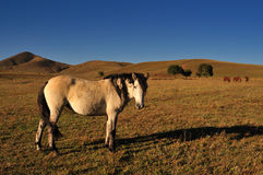 Horse. Chinese grasslands of Inner Mongolia horses free Stock Photos