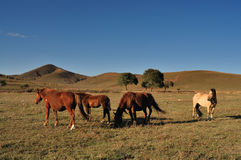 Horse. Chinese grasslands of Inner Mongolia horses free Stock Image
