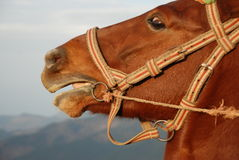 Horse. Head image close; Portrait of Royalty Free Stock Image