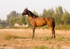 Horse. Arab horse in a farm of beijing Royalty Free Stock Photo