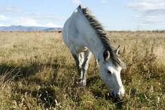 Horse. Grazes on autumn pasture Stock Images
