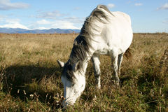 Horse. Grazes on autumn pasture Royalty Free Stock Photography