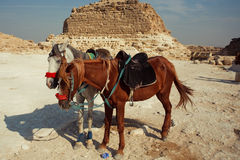 Horse. Two horses before the pyramid. Photo taken in Egypt Stock Photography