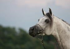 Horse. White arabian horse on the blue sky Royalty Free Stock Image
