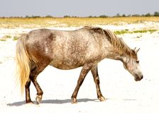 Horse. Spotted horse on the sand royalty free stock photo