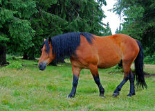 Horse. With dark hair in forest Royalty Free Stock Photos