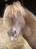 Horse. Brown miniature horse Royalty Free Stock Photo