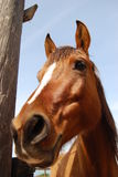 Horse. Head happy brown horse against a background of blue sky Royalty Free Stock Image