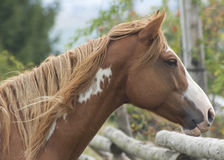 Horse. Brown horse with sad eyes Royalty Free Stock Images