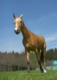 Horse. Standing on the background Royalty Free Stock Photography