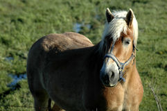 Horse. A draft horse standing in a field Stock Image