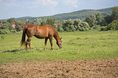 Horse. On pasture Stock Photos