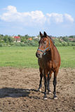 Horse. On pasture with blue sky stock photos