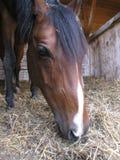 Horse. Arabian brown horse in box Stock Image