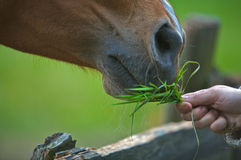 Horse. A brown horse eating grass from a women's hand Stock Image