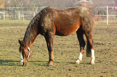 Horse. Grazing in field royalty free stock photos