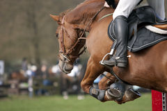 Horse. Brown horse in a showjumping event Stock Image