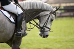 Horse. White horse in a showjumping event Stock Photography