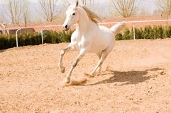 Horse. Arab horse in a farm of beijing Stock Photography