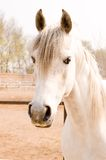 Horse. Arab horse in a farm of beijing Royalty Free Stock Image