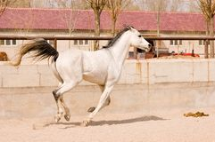 Horse. Arab horse in a farm of beijing Royalty Free Stock Images