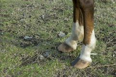 Horse. 's front feet Royalty Free Stock Image