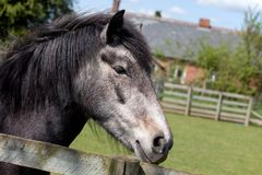 Horse. In a field on a farm Royalty Free Stock Photography