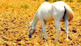 Horse. Horse Walking Alone On Freshly Plowed Field Ready For Cultivation Stock Image