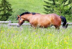 Horse. Grazing and taking rest on the green meadow stock photography