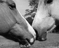 Horse affection Stock Image