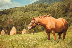 Horse against the background of hay and forest landscape. Stock Photos