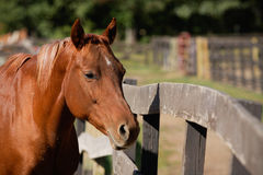 Horse Against Fence Stock Images