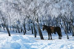 Horse against the frosty trees. Royalty Free Stock Photos