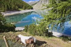 Horse against lake in mountains, Livigno, Italy Royalty Free Stock Images