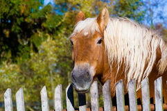 Horse against old wooden fence background. Head of brown horse with white mane against old wooden fence background, visible broadleaved trees Stock Photography