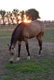 Horse Akhal-Teke. Maiden Akhal-Teke Sooty buckskin at sunset stock photo