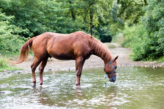 Horse alone drinking in a river during the summer Stock Photography