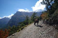 Horse along the Annapurna trek in Nepal Stock Images