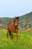Horse in alpine meadow Royalty Free Stock Photography