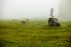 Horse on Alpine Pasture Royalty Free Stock Images