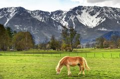 Horse in the Alps Stock Image