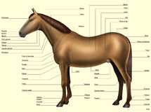Horse anatomy - Body parts Stock Photo
