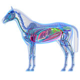 Horse Anatomy - Internal Anatomy of a Horse Royalty Free Stock Image