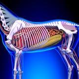 Horse Anatomy - Internal Anatomy of Horse Close-up Stock Image