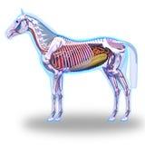 Horse Anatomy - Internal Anatomy of Horse isolated on white Royalty Free Stock Photography