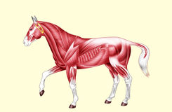 Horse anatomy - Muscles - No text. Digital illustration: muscles of the horse Stock Images