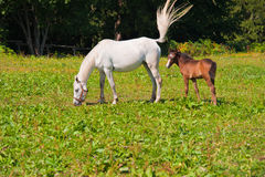 Horse And Foal On Grass Royalty Free Stock Photos