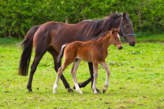 Free Horse And The Foal Royalty Free Stock Photography - 24528647