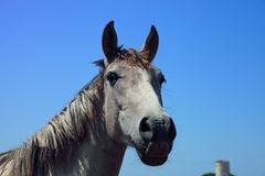 Horse in Andalusia on a blue sky Stock Images