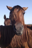 Horse with angry look Royalty Free Stock Image
